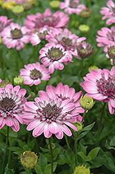 3D Pink African Daisy (Osteospermum '3D Pink') at Roger's Gardens