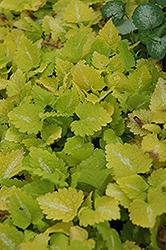 Lemon Frost Spotted Dead Nettle (Lamium maculatum 'Lemon Frost') at Roger's Gardens