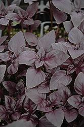 Red Rubin Basil (Ocimum basilicum 'Purpurascens') at Roger's Gardens