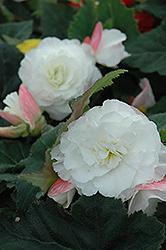 Nonstop Appleblossom Begonia (Begonia 'Nonstop Appleblossom') at Roger's Gardens