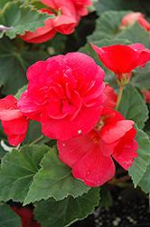 Nonstop Rose Pink Begonia (Begonia 'Nonstop Rose Pink') at Roger's Gardens