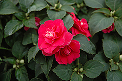 Fiesta Ole Rose Double Impatiens (Impatiens 'Fiesta Ole Rose') at Roger's Gardens