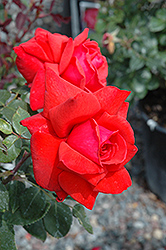 Dolly Parton Rose (Rosa 'Dolly Parton') at Roger's Gardens