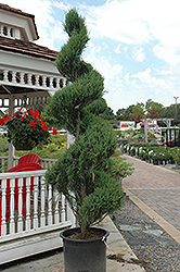 Skyrocket Juniper (spiral) (Juniperus scopulorum 'Skyrocket (spiral)') at Roger's Gardens