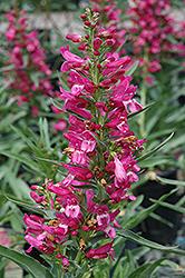 Riding Hood Hot Pink Beard Tongue (Penstemon barbatus 'Riding Hood Hot Pink') at Roger's Gardens