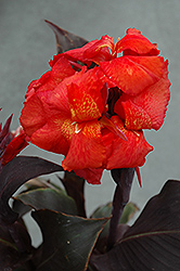 Tropical Bronze Scarlet Canna (Canna 'Tropical Bronze Scarlet') at Roger's Gardens