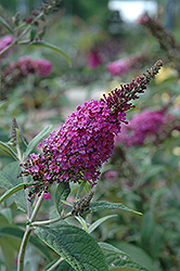 Miss Ruby Butterfly Bush (Buddleia davidii 'Miss Ruby') at Roger's Gardens