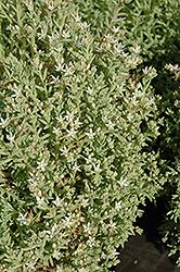 Tiny Buttons Stonecrop (Sedum hispanicum 'Tiny Buttons') at Roger's Gardens