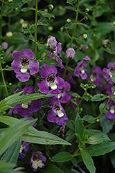 Archangel Purple Angelonia (Angelonia angustifolia 'Balarcpurpi') at Roger's Gardens
