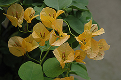 Gold Rush Bougainvillea (Bougainvillea 'Gold Rush') at Roger's Gardens