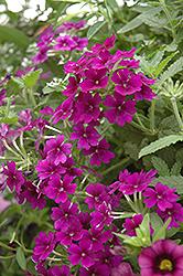 Empress Violet Blue Verbena (Verbena 'Empress Violet Blue') at Roger's Gardens