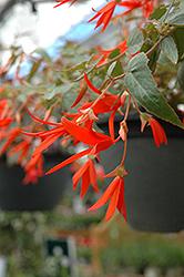 Bonfire Begonia (Begonia boliviensis 'Bonfire') at Roger's Gardens