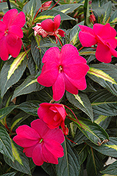 Sonic Hot Rose on Gold New Guinea Impatiens (Impatiens 'Sonic Hot Rose on Gold') at Roger's Gardens