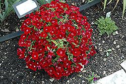 Floral Lace Crimson Pinks (Dianthus 'Floral Lace Crimson') at Roger's Gardens
