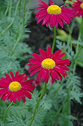 Robinson's Red Painted Daisy (Tanacetum coccineum 'Robinson's Red') at Roger's Gardens