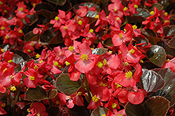 Harmony Scarlet Begonia (Begonia 'Harmony Scarlet') at Roger's Gardens