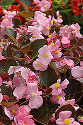 Harmony Pink Begonia (Begonia 'Harmony Pink') at Roger's Gardens