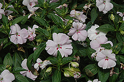 Fanfare Blush Impatiens (Impatiens 'Fanfare Blush') at Roger's Gardens