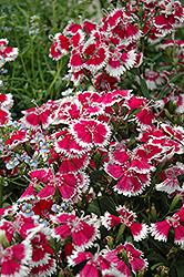 Floral Lace Mix Pinks (Dianthus 'Floral Lace Mix') at Roger's Gardens