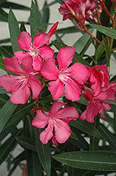 Oleander (Nerium oleander) at Roger's Gardens