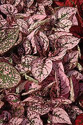 Splash Select Pink Polka Dot Plant (Hypoestes phyllostachya 'Splash Select Pink') at Roger's Gardens