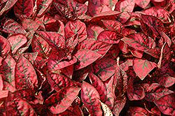 Splash Select Red Polka Dot Plant (Hypoestes phyllostachya 'Splash Select Red') at Roger's Gardens