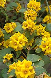 Golden Globes Loosestrife (Lysimachia procumbens 'Golden Globes') at Roger's Gardens