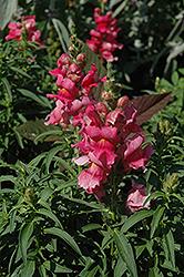 Liberty Classic Pink Snapdragon (Antirrhinum majus 'Liberty Classic Pink') at Roger's Gardens