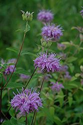 Wild Beebalm (Monarda fistulosa) at Roger's Gardens