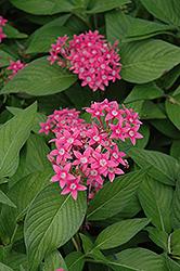 Egyptian Star Flower (Pentas lanceolata) at Roger's Gardens