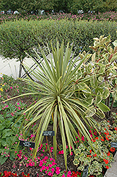 Torbay Dazzler Grass Palm (Cordyline australis 'Torbay Dazzler') at Roger's Gardens