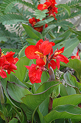 Tropical Red Canna (Canna 'Tropical Red') at Roger's Gardens