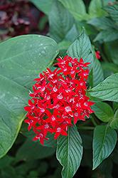 Ruby Glow Star Flower (Pentas lanceolata 'Ruby Glow') at Roger's Gardens