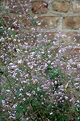 Splendide Meadow Rue (Thalictrum delavayi 'Splendide') at Roger's Gardens