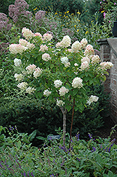 Limelight Hydrangea (tree form) (Hydrangea paniculata 'Limelight (tree form)') at Roger's Gardens