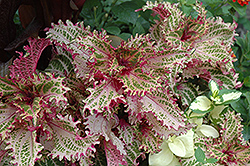 Pink Ruffles Coleus (Solenostemon scutellarioides 'Pink Ruffles') at Roger's Gardens