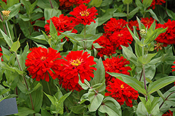Red Sun Zinnia (Zinnia 'Red Sun') at Roger's Gardens