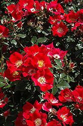 Carefree Spirit Rose (Rosa 'Carefree Spirit') at Roger's Gardens