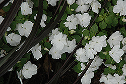 Dazzler White Impatiens (Impatiens 'Dazzler White') at Roger's Gardens