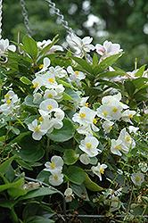 Wax Begonia (Begonia semperflorens) at Roger's Gardens