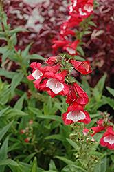 Scarlet Queen Beard Tongue (Penstemon 'Scarlet Queen') at Roger's Gardens