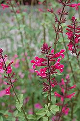 Mulberry Jam Roseleaf Sage (Salvia involucrata 'Mulberry Jam') at Roger's Gardens