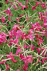 Nicki Pink Flowering Tobacco (Nicotiana 'Nicki Pink') at Roger's Gardens