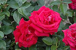 Lasting Love Rose (Rosa 'Lasting Love') at Roger's Gardens