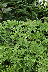 Cinnamon Scented Geranium (Pelargonium crispum 'Cinnamon') at Roger's Gardens