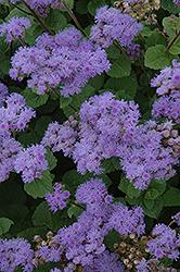 Blue Mink Flossflower (Ageratum 'Blue Mink') at Roger's Gardens