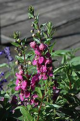 Archangel Raspberry Angelonia (Angelonia angustifolia 'Balarcaspim') at Roger's Gardens