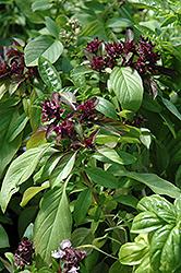 Siam Queen Basil (Ocimum basilicum 'Siam Queen') at Roger's Gardens
