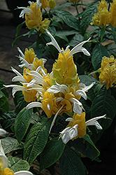 Golden Shrimp Plant (Pachystachys lutea) at Roger's Gardens