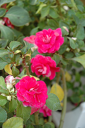 Fiesta Rose Double Impatiens (Impatiens 'Fiesta Rose') at Roger's Gardens
